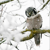 "A snowy rainy day today, but a fun trip north to visit the bird of the year for us!  Hope to go back on Monday!<br /> <br /> What a beauty!<br /> <br /> Northern Hawk owl<br /> Ontario, Canada<br /> <br />  <a href=""http://www.raymondbarlow.com"">http://www.raymondbarlow.com</a><br /> Sony Alpha A9,Sony 100-400GM<br /> 1/1600s f/5.6 at 400.0mm iso3200"