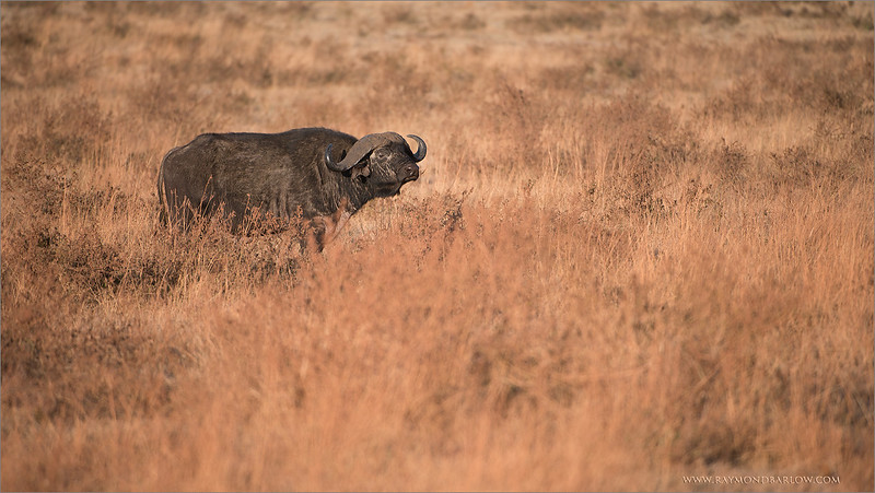 Cape Buffalo<br /> RJB Tanzania, Africa Tours<br /> <br /> ray@raymondbarlow.com<br /> 1/1000s f/4.0 at 400.0mm iso200