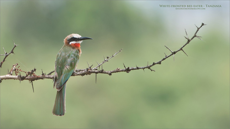 White-fronted bee-eater<br /> Raymond Barlow Photo Tours to Tanzania Wildlife and Nature<br /> <br /> ray@raymondbarlow.com for more info.<br /> Nikon D300 ,Nikkor 200-400mm f/4G ED-IF AF-S VR<br /> 1/320s f/6.3 at 400.0mm iso250