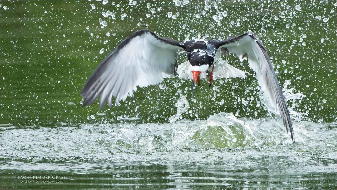 Black Skimmer Crash<br /> Raymond Barlow Photo Tours to USA - Wildlife and Nature<br /> <br /> ray@raymondbarlow.com<br /> Nikon D850 ,Nikkor 200-400mm f/4G ED-IF AF-S VR<br /> 1/2000s f/4.5 at 400.0mm iso1600