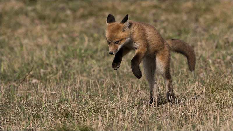 Fox Kit Hunting<br /> Raymond's Ontario Nature Photography Tours<br /> <br /> Please Protect Nature!<br /> <br /> ray@raymondbarlow.com<br /> Nikon D810 ,Nikkor 200-400mm f/4G ED-IF AF-S VR<br /> 1/2000s f/8.0 at 400.0mm iso1000