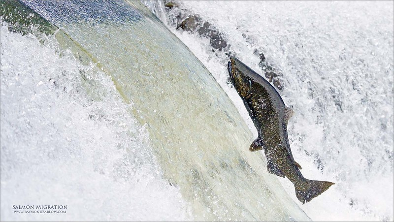 Salmon Migration<br /> Southern Ontario,  2020<br /> A7r4 + 200-600OSS<br /> Jobu Gimbal head and Algonquin tripod