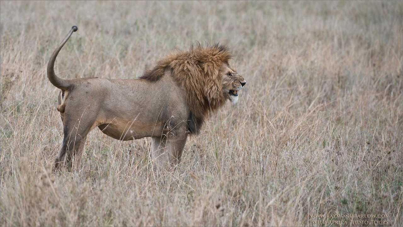 Angry Lion - Tanzania Photo Tours