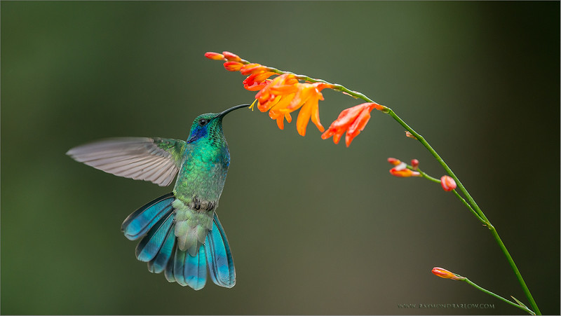 Green Violetear in Flight<br /> RJB Colours of Costa Rica Tour<br /> Nikon D800 ,Nikkor 200-400mm f/4G ED-IF AF-S VR<br /> 1/1000s f/4.0 at 350.0mm iso1000