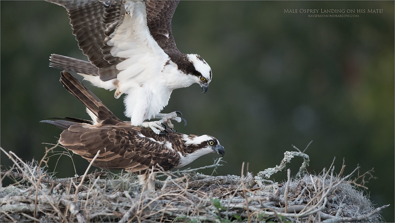 "This male and female osprey parked themselves side by side in a pine tree about 150 yards away. she had just finished eating her dinner as you can see by the look of her beak.  She flew into the nest, then, within a minute, she was accompanied by her mate!<br /> <br /> Here, in the landing shot he keeps his talons up and lands on his ""elbows!""  To lessen the risk of injury to his mate.  <br /> <br /> Of course, they proceed to celebrate Valentines day a little early, too much fun to photograph these amazing birds!<br /> <br /> Looking forward to returning in March.<br /> <br /> Male Osprey landing on his Mate<br /> Orlando, Florida<br /> <br /> ray@raymondbarlow.com<br /> Nikon D850 ,Nikkor 200-400mm f/4G ED-IF AF-S VR<br /> 1/1250s f/4.0 at 400.0mm iso2000"