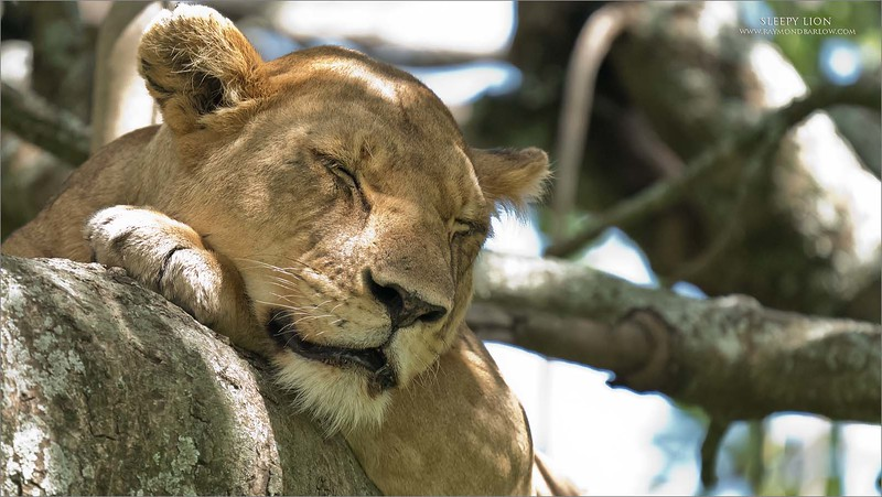 """Sleepy Lion<br /> <br /> Our tree-climbing lion finally settled down for a snooze during the late afternoon.  Some pretty nice quality for 12,800 iso!  Still, the harsh light really hurts this image.  """"Is what it is!""""<br /> <br /> Awesome nature in Tanzania!"""