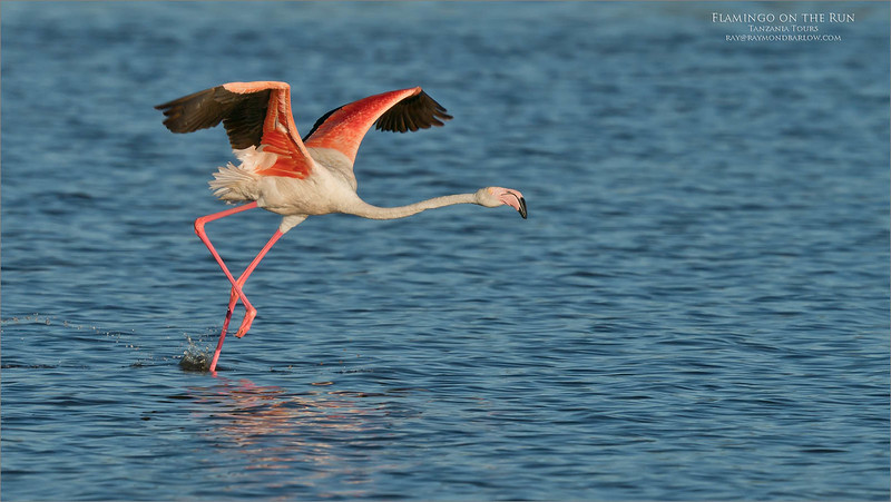We had it all! <br /> <br /> Flights, lift-offs, and landings.  and a few nice poses.<br /> <br /> These flamingos are a marvel, brilliant colours and lanky disposition.<br /> <br /> I asked our guide to get us into this position, and voila! here we go!  superb opportunities on every corner.<br /> <br /> Tanzania:  Nature at its best.<br /> <br /> Thanks for looking!