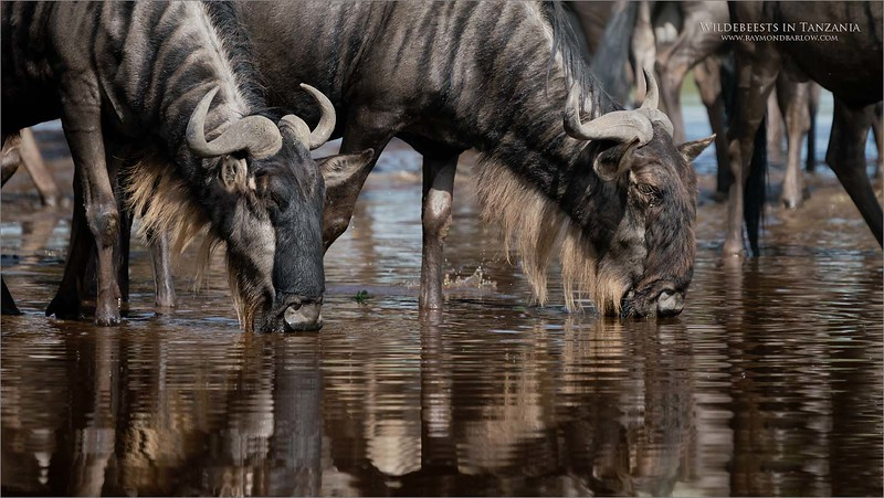 Thirsty Wildebeests<br /> <br /> We were working the Ndutu an area within the west side of the Ngorongoro conservation Area, and south of the Serengeti.  Our camp is right along side of the river, which has usually dried up to a small creek.<br /> <br /> Here a huge herd of Wildebeests stopped by for a drink, and a rest.  They are on the move to the southern locations of the Serengeti, tracking out of Kenya. <br /> <br /> They stop here for what they call calving season.  Adult females will drop their young and stay here to feed on the rich grasslands, which are prime eating with all the rains.<br /> <br /> After a couple months, the herds will circle west then north to continue the Great Migration.<br /> <br /> Thanks for looking!