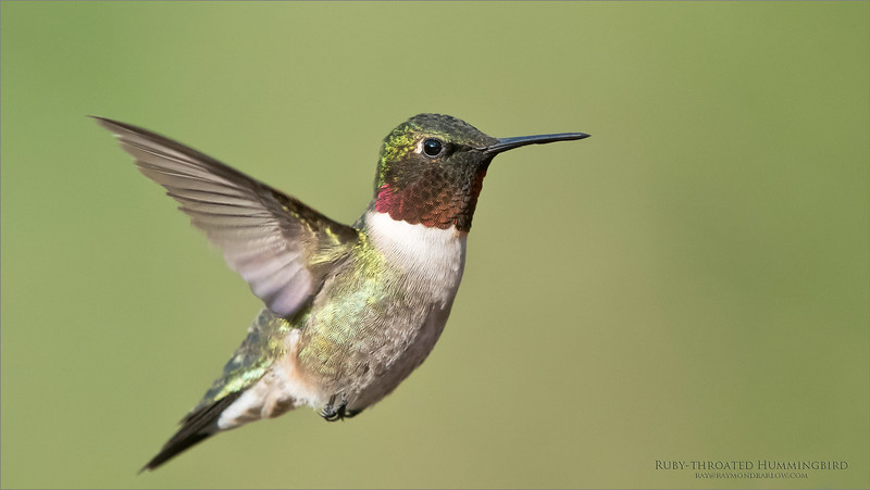 Ruby-throated Hummingbird<br /> Ontario, Canada<br /> <br /> ray@raymondbarlow.com<br /> Nikon D850 ,Nikkor 200-400mm f/4G ED-IF AF-S VR<br /> 1/2500s f/6.3 at 400.0mm iso2000