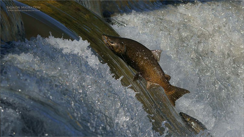 Salmon Migration<br /> Southern Ontario,  2020<br /> A9 + 200-600OSS<br /> Jobu Gimbal head and Algonquin tripod