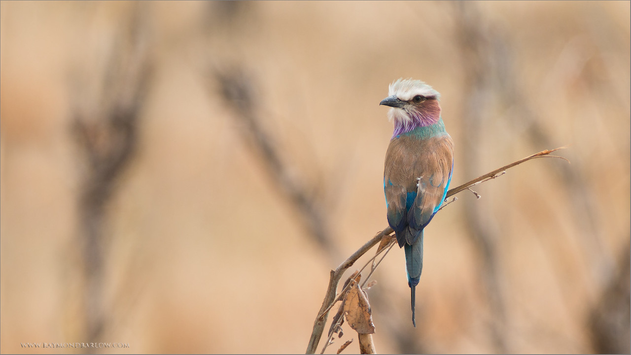 Lilac Breasted Roller in Tanzania<br /> RJB Tanzania, Africa Tours<br /> ray@raymondbarlow.com<br /> Canon EOS 70D <br /> Swarovski Telescope STX 25x 65mm - 1200 mm<br /> 1/320s iso320 f11.5