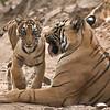 Tigress T60 and her Cub<br /> Raymond's Wild Tiger Photography Tours<br /> <br /> ray@raymondbarlow.com<br /> Nikon D810 ,Nikkor 200-400mm f/4G ED-IF AF-S VR<br /> 1/250s f/8.0 at 400.0mm iso2000