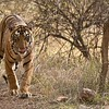 Royal Bengal Tiger Hunting<br /> 1/640s f/8.0 at 360.0mm iso800<br /> D800 - 2-400 vr1<br /> Ranthambore NP, India<br /> <br /> If we respect the nature of our earth, we will preserve all life.<br /> <br /> raymond<br /> ray@raymondbarlow.com