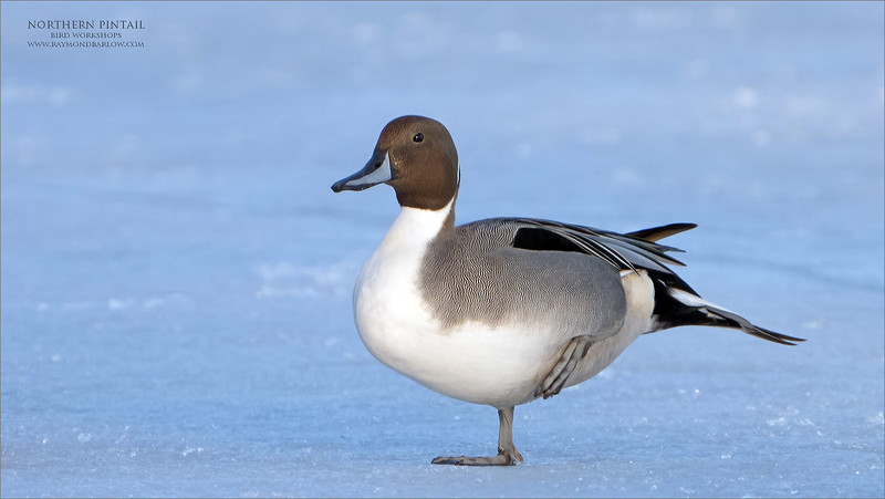"""My feet are getting cold!<br /> <br /> Northern Pintail on ice!<br /> <br /> I have heard it before, cold feet and the need for new winter boots!<br /> <br /> This beauty does not have the luxury we have, so they warm one foot at a time.  I still find it amazing that so many ducks and water fowl survive our icy cold weeks here in Canada. There cannot be too much food around, but yet there are thousands waiting for the ice to thaw.<br /> <br /> The geese and the swans also make a meager living, so thankfully some kind-hearted people at the waterfront in Burlington feed them with kennel corn designed for birds.   Most people do not know that feeding these birds with bread is a poor choice.  The theory is that once the bread is digested, the excretions become toxic.  Also, leftover bread going to decay in the water is very bad for the ecosystem.<br /> <br /> So with this shot, the bird was quite far out on the ice.  I decided to use the tele-converter, and the crop factor asp-c sensor setting on the A7r4.  This leaves me with a 1260 mm equivalent mm, and still from there at least a 50% crop in Photoshop.  It is nice to use this set up for distant still subjects, but I do recommend using the timer, for at least 5 seconds.<br /> <br /> The blue cast comes with low late afternoon light, so the whites slowly become """"less white!""""<br /> <br /> Thanks for looking!"""