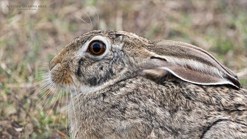 Incredible Tanzania<br /> <br /> Every tour, for 6 trips now, we spend one day in the Ngorongoro Crater.  This last trip was no exception.  Brilliant opportunities, including this amazing  African savanna hare.  <br /> <br /> It stood still for a few minutes, and so close to our safari vehicle.  So amazing that our guide spotted this beautiful animal.  Almost frozen, we had time to capture a nice low iso image, and sharp.  good enough for a heavy crop!<br /> <br /> I am looking forward to heading back in 2020 with buddy chad Barry co-hosting, and bringing a bunch of his friends.  10 guests in total,  with 2 photo guides!  Should be excellent!<br /> <br /> A truly spectacular place to be creative with your camera and editing!<br /> <br /> African savanna hare<br /> Tanzania, Africa<br /> <br /> Tanzania Tours<br /> ray@raymondbarlow.com<br /> Nikon D850 ,Nikkor 200-400mm f/4G ED-IF AF-S VR<br /> 1/400s f/6.3 at 330.0mm iso500