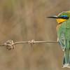 Little Bee-eater  (Swarovski Spotting Scope)