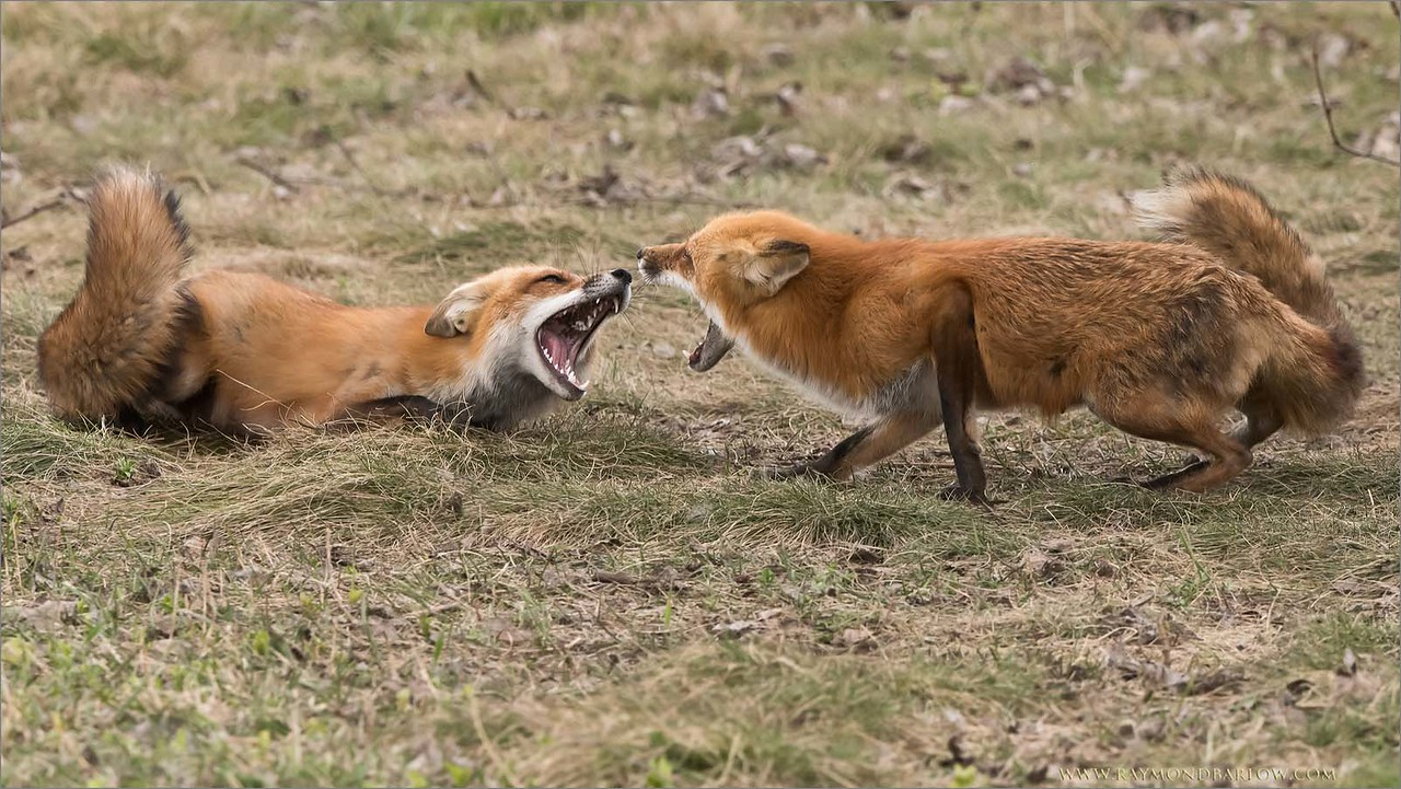 Female Foxes in a Dispute<br /> Raymond's Ontario Nature Photography Tours<br /> <br /> ray@raymondbarlow.com<br /> Nikon D810 ,Nikkor 200-400mm f/4G ED-IF AF-S VR<br /> 1/800s f/6.3 at 330.0mm iso1000