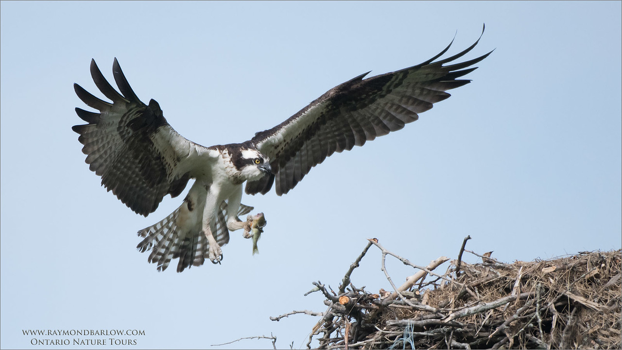 Osprey Landing with Catch<br /> Raymond's Ontario Nature Photography Tours