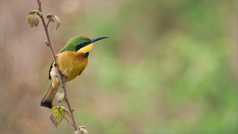 Little Bee-eater<br /> RJB Tanzania, Africa Tours<br /> ray@raymondbarlow.com<br /> Nikon D800 ,Nikkor 200-400mm f/4G ED-IF AF-S VR<br /> 1/400s f/4.0 at 400.0mm iso320