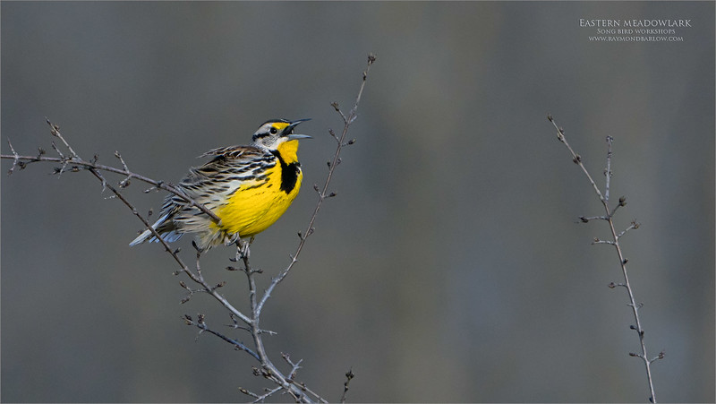 After a few weeks break recovering from some injuries, we decided to take a trek out into the country to my favourite meadowlark location.<br /> <br /> Tonight we had some luck, with Maria's help, we were able to catch a few shots of this superb Eastern meadowlark.  The golden beauty!<br /> <br /> Singing his heart out, he waits for his mate to show up and start a new family during nesting season.<br /> <br /> Great fun, shooting from my Toyota Venza hide, lens resting on the window!  The teleconverter on, and crop factor at 1.5 x factor, so 1260 mm.  <br /> <br /> I hope to try this in a hide soon, for better, closer results and maybe some decent video!<br /> <br /> This is such a beautiful bird!