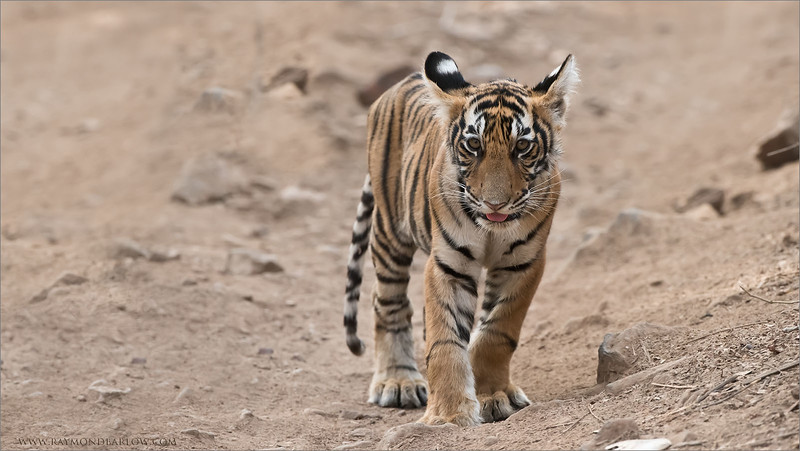 Tiger Cub in India<br /> Raymond's Wild Tiger Photography Tours<br /> <br /> Protecting  Natures habitat is the same as Protecting our Children's Future.<br /> <br /> ray@raymondbarlow.com<br /> Nikon D810 ,Nikkor 200-400mm f/4G ED-IF AF-S VR<br /> 1/500s f/6.3 at 400.0mm iso2000