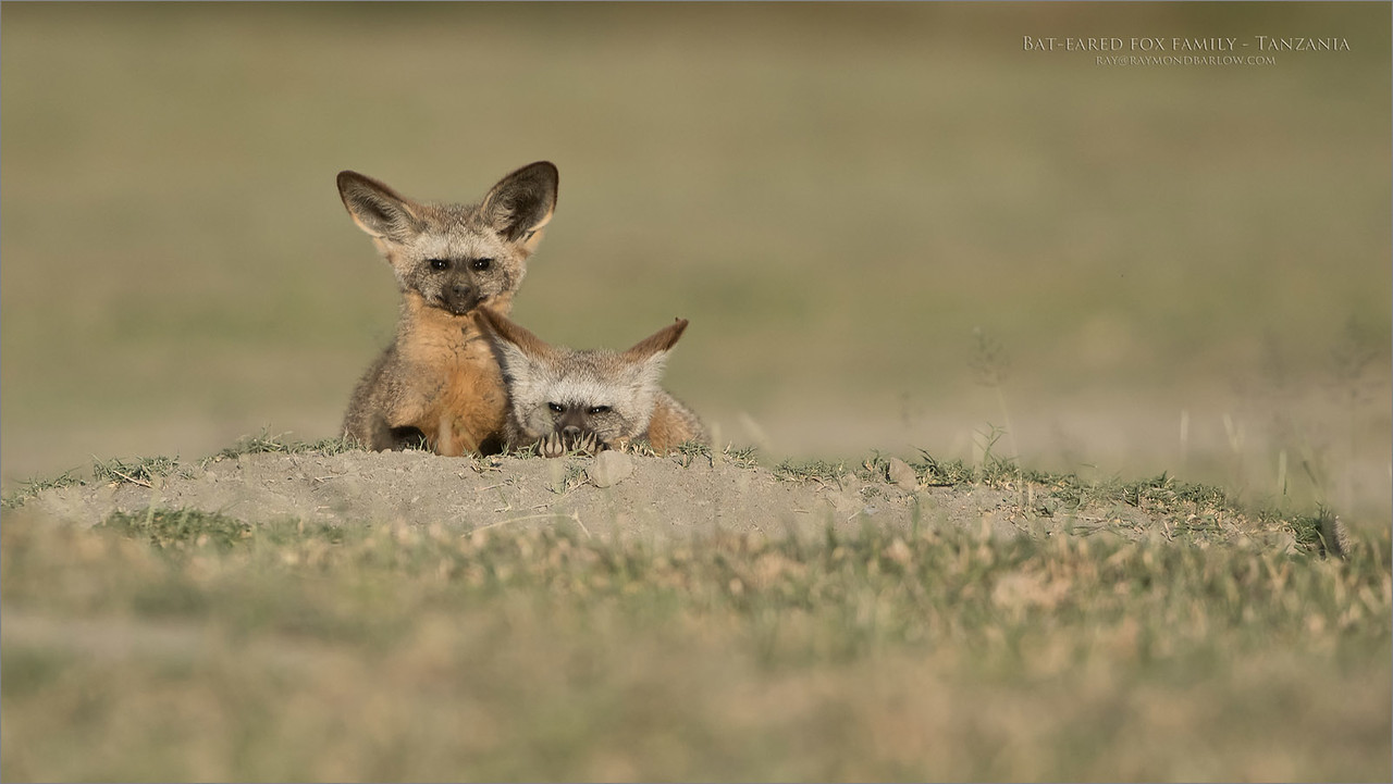 Bat-eared fox - Tanzania.<br /> <br /> Our driver was good enough to allow me to get out of the truck, knowing that there were lions in the area, he kept an eye out for me. From what I hear, lions don't eat Canadians anyhow., too much fat!<br /> <br /> Several shots later, I crawl back into the safari truck., all was well.<br /> <br /> cute wee ones!<br /> <br /> Thanks for looking!<br /> <br /> Bat-eared fox Family<br /> Raymond Barlow Photo Tours to Tanzania Wildlife and Nature<br /> Nikon D850 ,Nikkor 200-400mm f/4G ED-IF AF-S VR<br /> 1/2500s f/5.0 at 400.0mm iso500