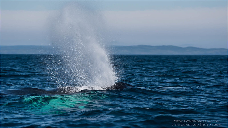 "Humpback Whale<br /> Raymond's Newfoundland Photo Tours<br /> <br /> Up to 80,000 pounds, and can eat 1,000 pounds of fish a day!<br /> <br />  <a href=""http://www.raymondbarlow.com"">http://www.raymondbarlow.com</a><br /> Nikon D810 ,Nikon AF-S 200-500mm f/5.6 E ED VR Nikkor<br /> 1/6400s f/6.3 at 210.0mm iso800"