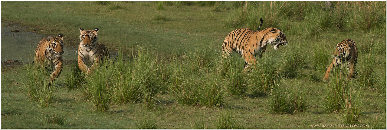 "#tiger #family #india<br /> <br /> Limited Edition Print - Tiger Family on the Move! <br /> Sized -66"" wide x 22"" high!<br /> <br /> I hope your interested, only 20 copies on the first run.  Would you like the first copy?<br /> <br /> Thanks to my friend John from Colorado for this suggestion, extra large print, and 4 tigers tack sharp!<br /> <br /> Selling price - $750.00 USD for the first print run of 20 copies.<br /> <br /> Thanks for looking!<br /> <br /> Royal Bengal Tiger Family, Ranthambore NP, India.<br /> <br /> Thanks to all my friends here on G+  .. just turned 92 million views!  47 million in the last 2 months! Amazing!<br /> <br /> Thanks so much for the nice comments and so many shares.<br /> <br /> Best wishes from Canada.<br /> <br /> Raymond"