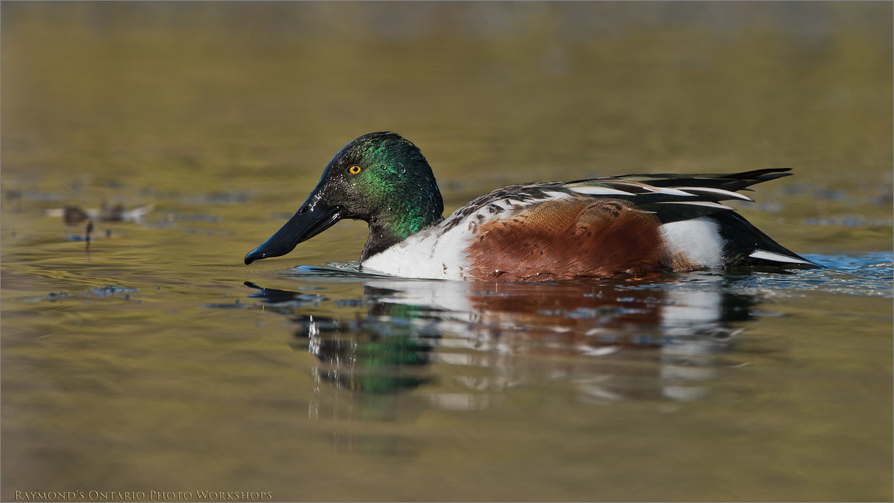 Northern shoveler<br /> Raymond's Ontario Nature Photography Tours<br /> Nikon D810 ,Nikkor 200-400mm f/4G ED-IF AF-S VR<br /> 1/640s f/6.3 at 400.0mm iso200