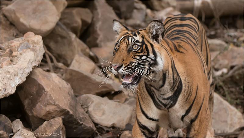 RJB_0878 Royal Bengal Tiger Looking Up 1600 share