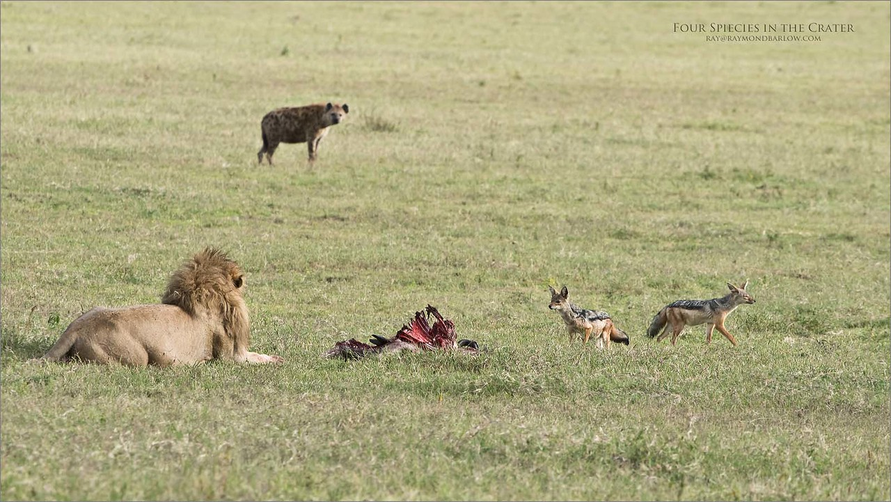 "Everyone is Hungry - Ngorongoro Crater.<br /> <br /> A male Lion with a full belly, a Spotted Hyena looking to chew some bones, and two black backed Jackals planning their next maneuver - last, we have one wildebeest wishing it could have ran faster, entertaining several species with its very last offering.<br /> <br /> Life in Africa is all about survival. We used to say at the kitchen table years ago with my brother, and 3 nephews ""the strong survive!"" during this time in Tanzania, food is plentiful, the migration to the south is in full swing, and this is calving season. 100's of thousands of baby wildebeests will drop, and feed the animals whom are hungry.<br /> <br /> Newfoundland - Costa Rica - Ecuador - Wild Tigers of India - Tanzania<br /> <br /> ...<br /> <br /> Four Species in the Crater<br /> Raymond Barlow Photo Tours to Tanzania Wildlife and Nature<br /> <br /> ray@raymondbarlow.com<br /> Nikon D850 ,Nikkor 200-400mm f/4G ED-IF AF-S VR<br /> 1/500s f/8.0 at 400.0mm iso800"