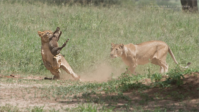 A young warthog bites the dust! - 6 of 8 images.