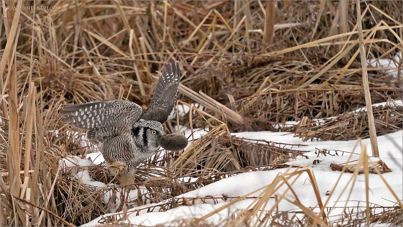 "After a vertical dive into the bulrush, the owl pops out with a nice catch for lunch!  A big juicy vole.  In the next few shots he lifts off to carry his meal to a nearby safety zone.<br /> <br /> Northern Hawk Owl with a Vole!<br /> Ontario, Canada<br /> <br />  <a href=""http://www.raymondbarlow.com"">http://www.raymondbarlow.com</a><br /> Sony Alpha α9 ,Sony 100-400GM<br /> 1/3200s f/5.6 at 330.0mm iso2000"