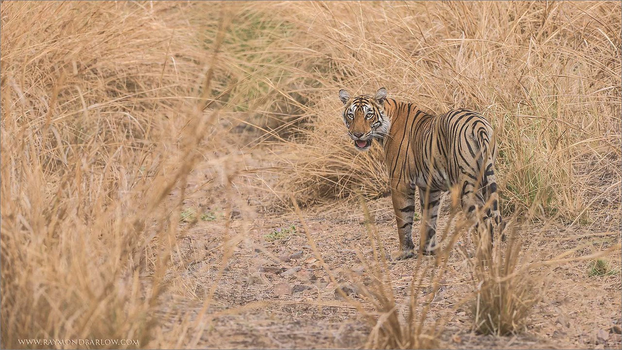 "Royal Bengal Tiger in some long  grass.<br /> Raymond's Tiger Photography Tours in India<br /> <br /> Please respect and protect Nature.<br /> <br />  <a href=""http://www.raymondbarlow.com"">http://www.raymondbarlow.com</a><br /> Nikon D810 ,Nikkor 200-400mm f/4G ED-IF AF-S VR<br /> 1/1250s f/5.6 at 220.0mm iso1250"