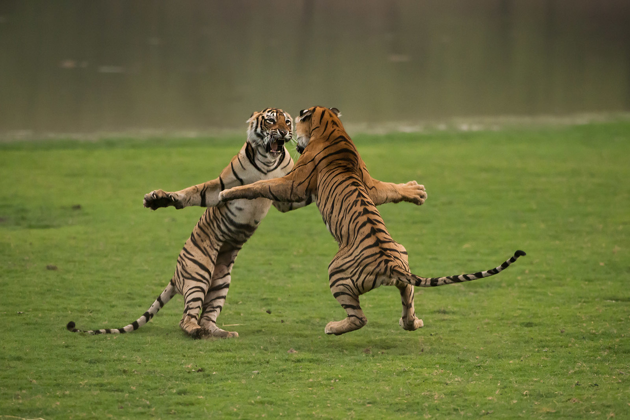 Tiger Sisters practicing a fight!<br /> Tiger Photo tours in India with Raymond.