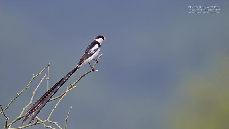 Pin-tailed Whydah<br /> <br /> What a cool bird!  I was hoping to catch it in flight, but we did not have a good chance. Beautiful long tail feathers, and it dances in the air like magic!<br /> <br /> Hope for anther chance next time!<br /> <br /> Birds of Tanzania!