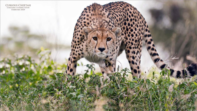 We followed a cheetah (back in 2011)!  as she was hunting in the south of the Serengeti, as she was the first animal we saw after leaving the camp at 6:00 am... withing 500 yards of our coffee tent! <br /> <br /> After her long trek through the bush, she cam to a tree out in the open to rest, maybe 2 hours later.   She then stayed pretty still while watching for prey to walk by.  We could tell she was hungry judging by the narrow waistline.<br /> <br /> I asked the guide if it was ok to get out of the truck, and get down under the truck for a low angle shot.  He said no problem!  My head was against the muffler while I prepared for her to get up, but she didn't move, and she didn't even notice I was there, only 25 yards away! <br /> <br /> So I fired a few shots to see if I could get her attention, and wow! did it work!  She came over for a look, and I was amazed!  I may have fired 40 frames, then decided to get up, and back into the truck.. she moved on.<br /> <br /> Cheetahs are not aggressive with humans,  they are known to be very gentle, and much like a dog with their attitude.  Even known to walk into a camp, and lay down beside a fire, with people present.<br /> <br /> What a brilliant animal.<br /> <br /> 2020 tour coming soon!<br /> ray@raymondbarlow.com<br /> <br /> Curious Cheetah<br /> <br /> Tanzania - February 2020<br /> ray@raymondbarlow.com<br /> Nikon D300 ,Nikkor 200-400mm f/4G ED-IF AF-S VR<br /> 1/640s f/4.0 at 200.0mm iso200