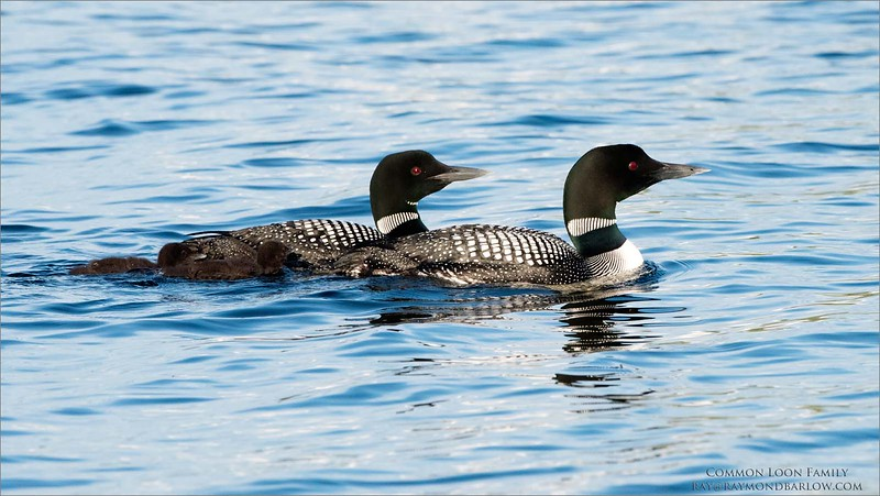 Common Loon Family<br /> Raymond's Ontario Nature Photography Tours<br /> <br /> ray@raymondbarlow.com<br /> Nikon D810 ,Nikkor 200-400mm f/4G ED-IF AF-S VR<br /> 1/3200s f/8.0 at 380.0mm iso1250