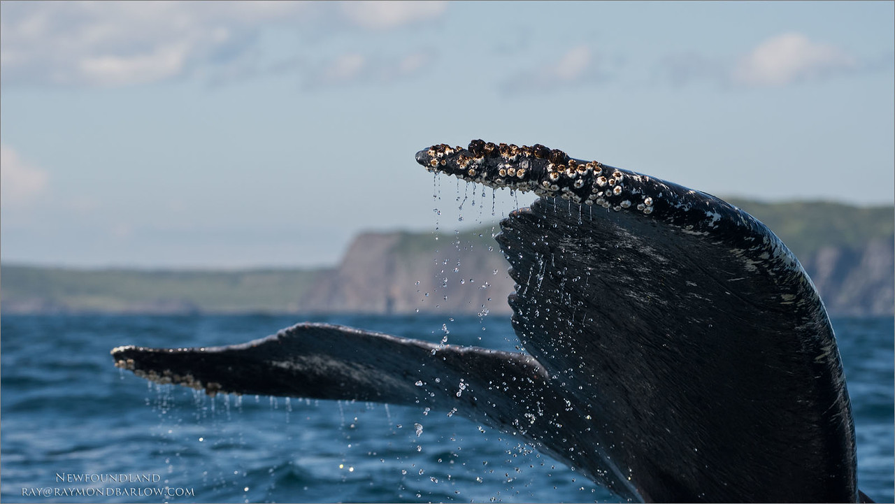 Humpback Whale<br /> Raymond's Canada Nature Photography Tours<br /> <br /> ray@raymondbarlow.com<br /> Nikon D810 ,Nikkor 80-200mm f/2.8D ED AF<br /> 1/4000s f/6.3 at 200.0mm iso800