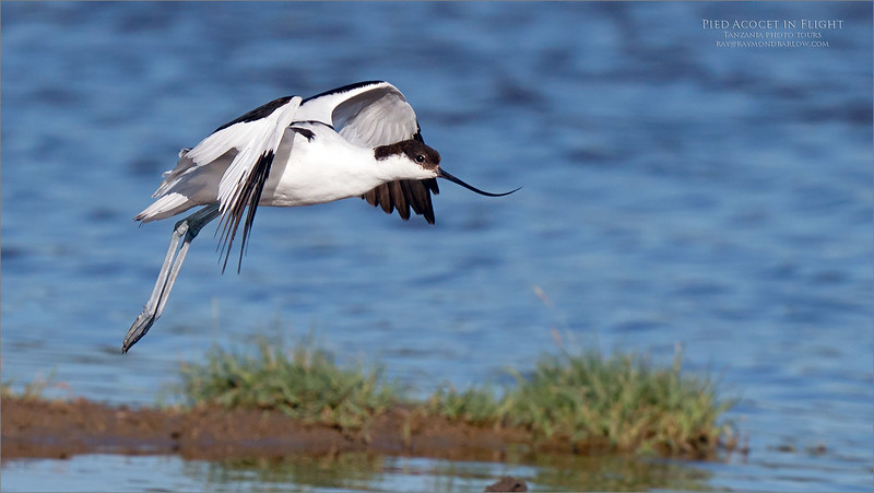 """Brilliant beauty in Flight<br /> <br /> Pied avocet<br /> <br /> Amazing to watch these shorebirds race up and down the lake, feeding on what looks like next to nothing!  a difficult exposure with blacks and whites and bright sunlight, but good fun as always.<br /> <br /> This bird has such an interesting beak.  would it be nice if we could as """"evolution"""" the reasoning behind this development?<br /> <br /> I would be interested to know!<br /> <br /> Maybe a scoop type beak to lift small quantities of water up, and filter the food out from there?  So cool!<br /> <br /> We are so lucky to have nature share such beauty!<br /> <br /> raymond."""