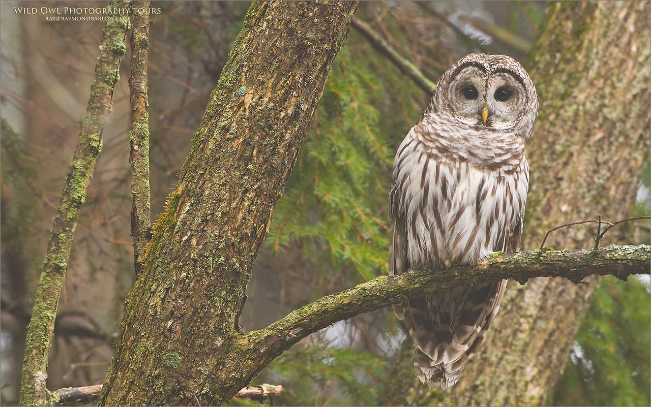 Barred Owl  in some Fog!!  - Ontario, Canada