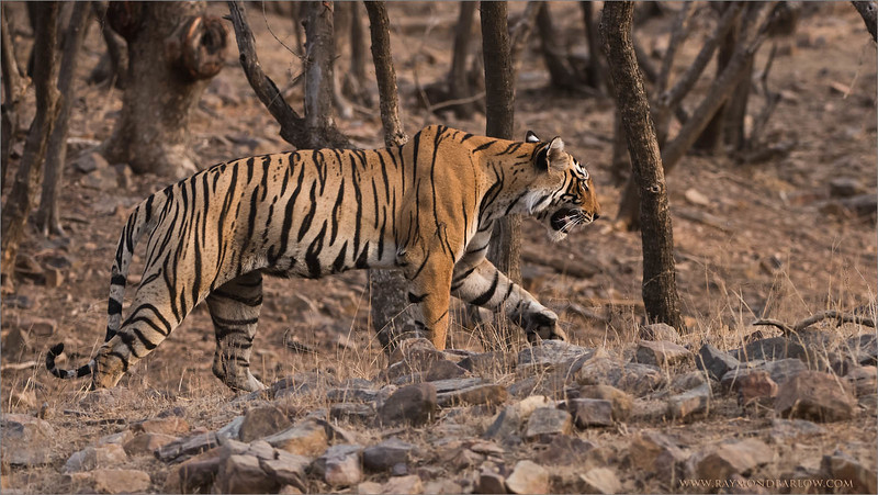 """Thirsty Tiger<br /> Raymond's Tiger Photography Tours in India<br /> <br />  <a href=""""http://www.raymondbarlow.com"""">http://www.raymondbarlow.com</a><br /> Nikon D810 ,Nikkor 200-400mm f/4G ED-IF AF-S VR<br /> 1/800s f/7.1 at 310.0mm iso500"""