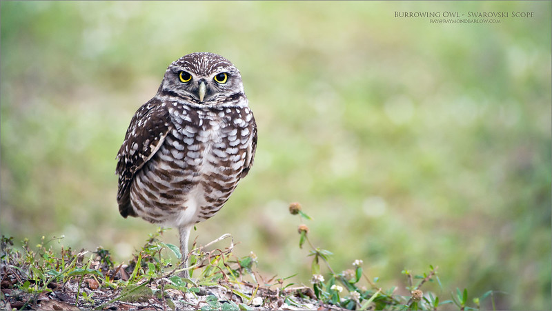 I spent some time having fun with the Swarovski Scope attached to my D850 during my most recent trip to Florida.  Worked out well!<br /> <br /> Especially with this cute model in superb light! <br /> <br /> Burrowing Owl - Swarovski Scope<br /> Florida<br /> <br /> ray@raymondbarlow.com<br /> Nikon D800 ,Swarovski Spotting Scope - 95mm Optic<br /> 1/640s f8.4 iso1250