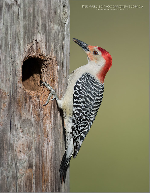 Just booked!<br /> <br /> Back south on Wednesday morning, up and gone around <br /> 2:30 am!  Hope I get a couple hours sleep!<br /> <br /> Here is a shot from our last tour to FLA, a Red-bellied woodpecker taken near Orlando.  This bird was preparing its nest right beside a dock used for fishing boats.  About 12 feet from the dock! <br /> <br /> Standing as still as possible, the woodpecker carried on with its business, virtually ignoring us, and doing quite a nice job cleaning out the bottom of the nest hole.<br /> <br /> Hoping the Purple gallinules are busy in nesting, and maybe some spoonies nesting to at the alligator farm at St. Augustine - just north of our hotel a few hours drive!  We should see some wonderful coloured plumage, and so many birds!<br /> <br /> Should be fun with the D850 this time, a great birding test for the camera.  - real nature in superb Florida!<br /> <br /> Looking forward to all the tolls too!  (ouch!) .<br /> <br /> Red-bellied woodpecker<br /> Raymond Barlow Photo Tours to USA - Wildlife and Nature<br /> <br /> ray@raymondbarlow.com<br /> Nikon D810 ,Nikkor 600 mm f/4 ED<br /> 1/8000s f/4.5 at 600.0mm iso1000