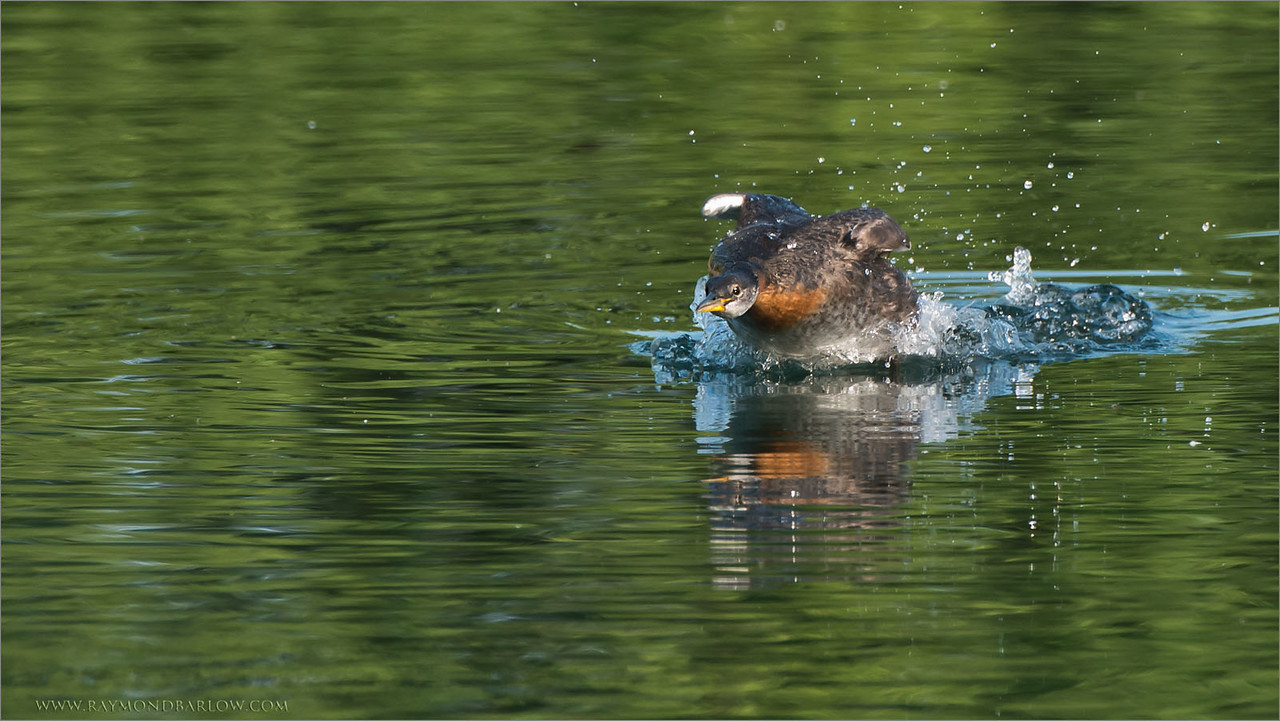 Red-necked grebe Lift Off<br /> Raymond's Ontario Nature Photography Tours<br /> <br /> ray@raymondbarlow.com<br /> Nikon D800 ,Nikkor 200-400mm f/4G ED-IF AF-S VR<br /> 1/1000s f/6.3 at 400.0mm iso1600