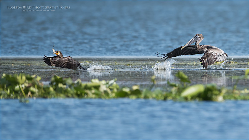 Brown pelican Chases a Cormorant<br /> Raymond Barlow Photo Tours to USA - Wildlife and Nature<br /> <br /> ray@raymondbarlow.com<br /> Nikon D810 ,Nikkor 600 mm f/4 ED<br /> 1/4000s f/4.0 at 600.0mm iso800