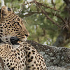 Leopard in Tanzania<br /> RJB Tanzania, Africa Tours<br /> ray@raymondbarlow.com<br /> Canon EOS 70D<br /> Swarovski Telescope STX 65mm x 25 1200 mm<br /> f 11.5  -  1/40s  - iso400
