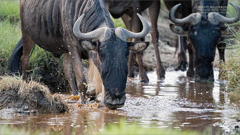Wildebeests<br /> <br /> A herd of thirsty Wildebeest browses the small creek in search of some fresh water.  A lot of animals in one small place so we had very cool chances to catch nice images!<br /> <br /> Appreciate the real beauty of nature.<br /> <br /> raymond