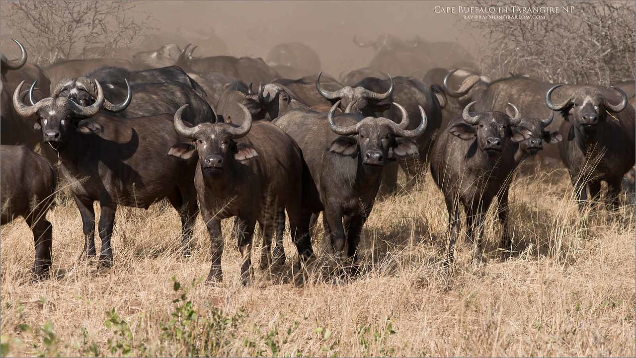 """A Cloud of Dust - Cape Buffalo<br /> Raymond Barlow Photo Tours to Tanzania Wildlife and Nature<br /> <br /> ray@raymondbarlow.com<br />  <a href=""""http://www.raymondbarlow.com"""">http://www.raymondbarlow.com</a><br /> Nikon D800 ,Nikkor 80-200mm f/2.8D ED AF<br /> 1/3200s f/5.0 at 135.0mm iso500"""