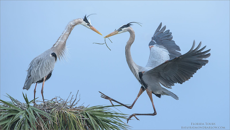 "Great Blue Herons Nesting - Florida<br /> Raymond's USA Photography Tours<br /> <br />  <a href=""http://www.raymondbarlow.com"">http://www.raymondbarlow.com</a><br /> Nikon D810 ,Nikkor 600 mm f/4 ED<br /> 1/800s f/6.3 at 600.0mm iso1250"
